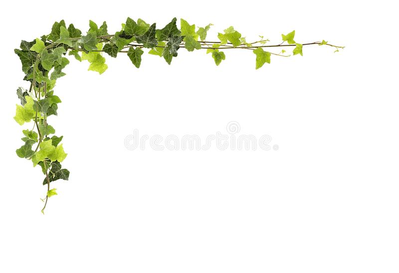 Frame of ivy stock image