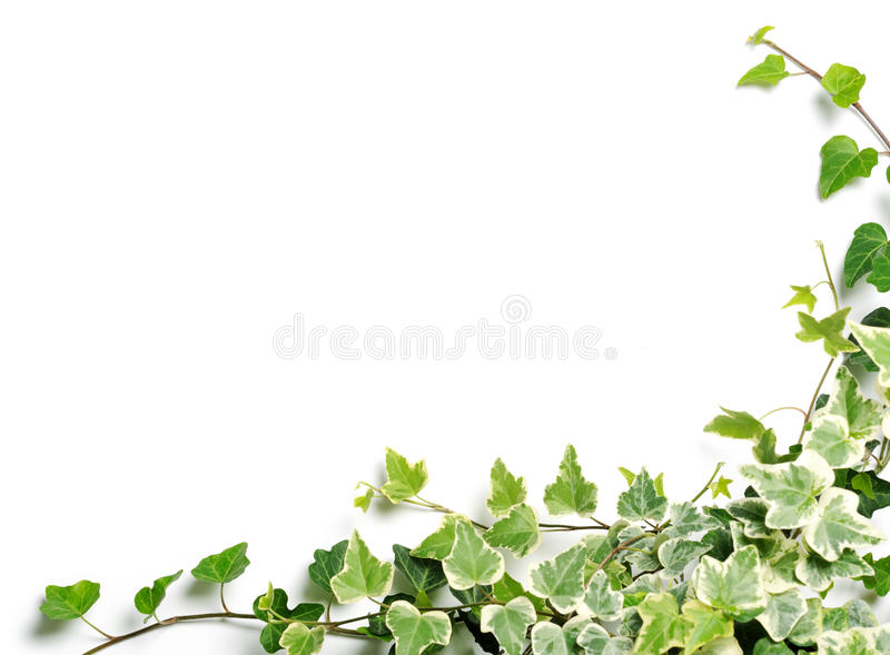 Frame of ivy royalty free stock photo