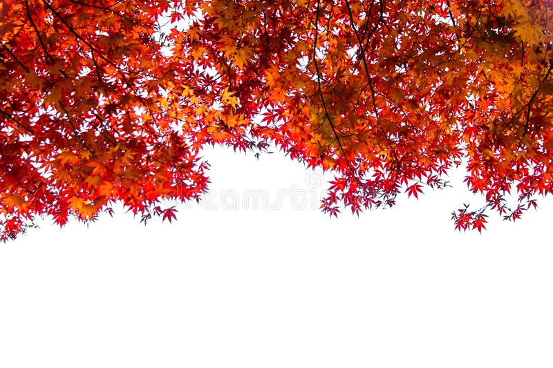Frame made of autumn maple leaf leaves royalty free stock images