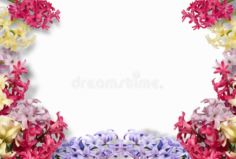 Frame of multi-colored hyacinths on white background. Flat lay, top view. Floral pattern. Pattern of flowers. Flowers royalty free illustration