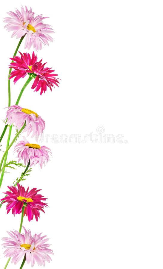 Frame of multicolor daisies, isolated on white background stock photos