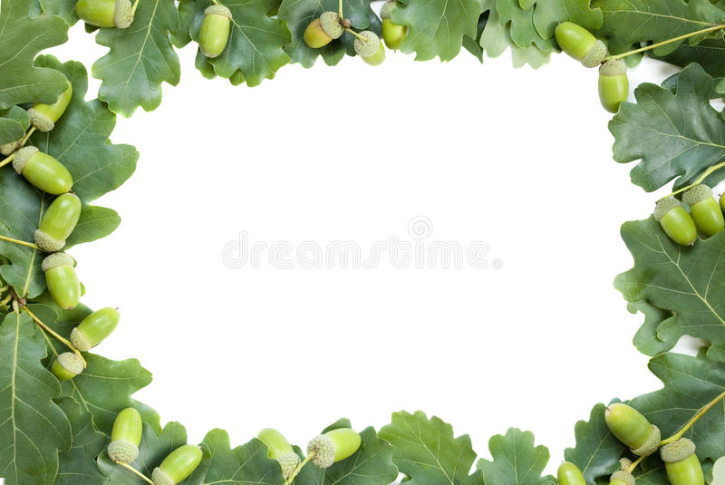 Frame of oak leaves and acorns royalty free stock photography