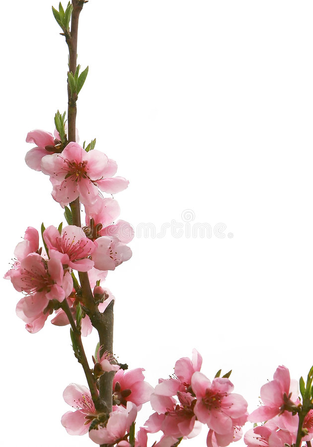 Download Frame from pink flowers stock photo. Image of aromatic - 4879326