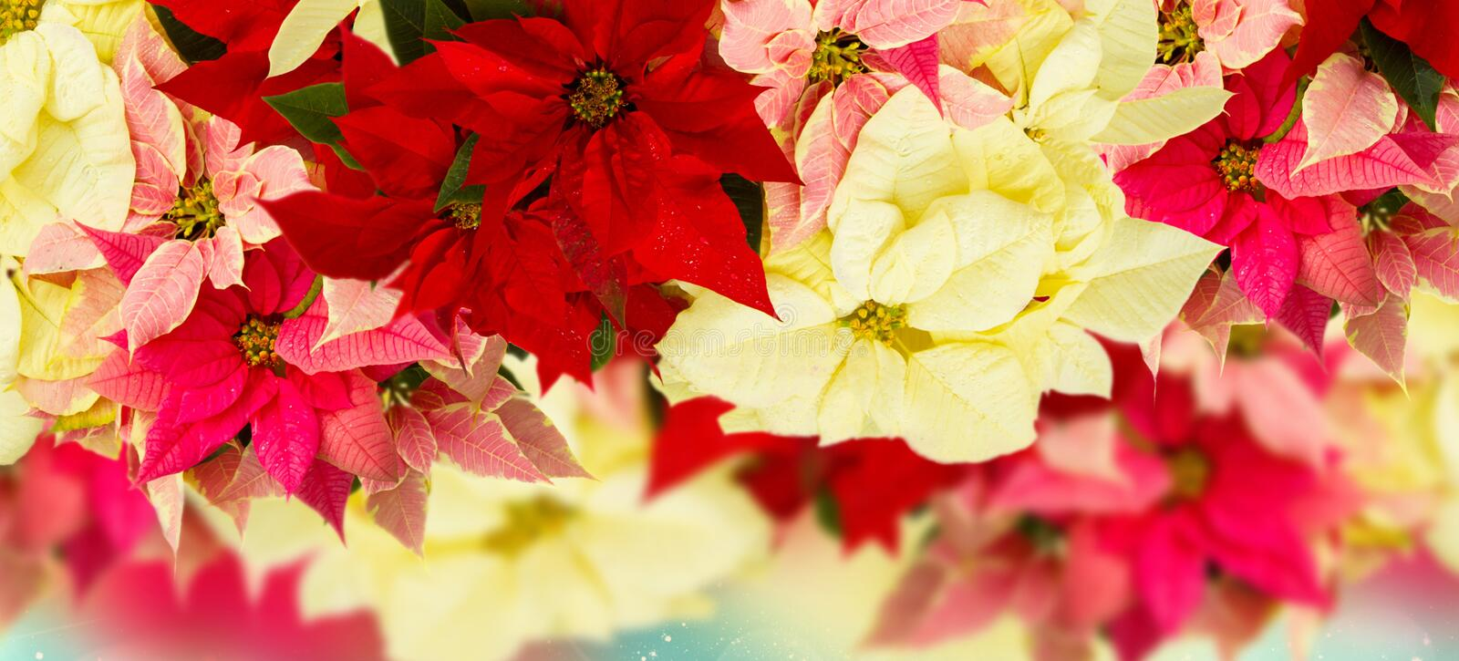 Frame of pink poinsettia flower or christmas star stock images