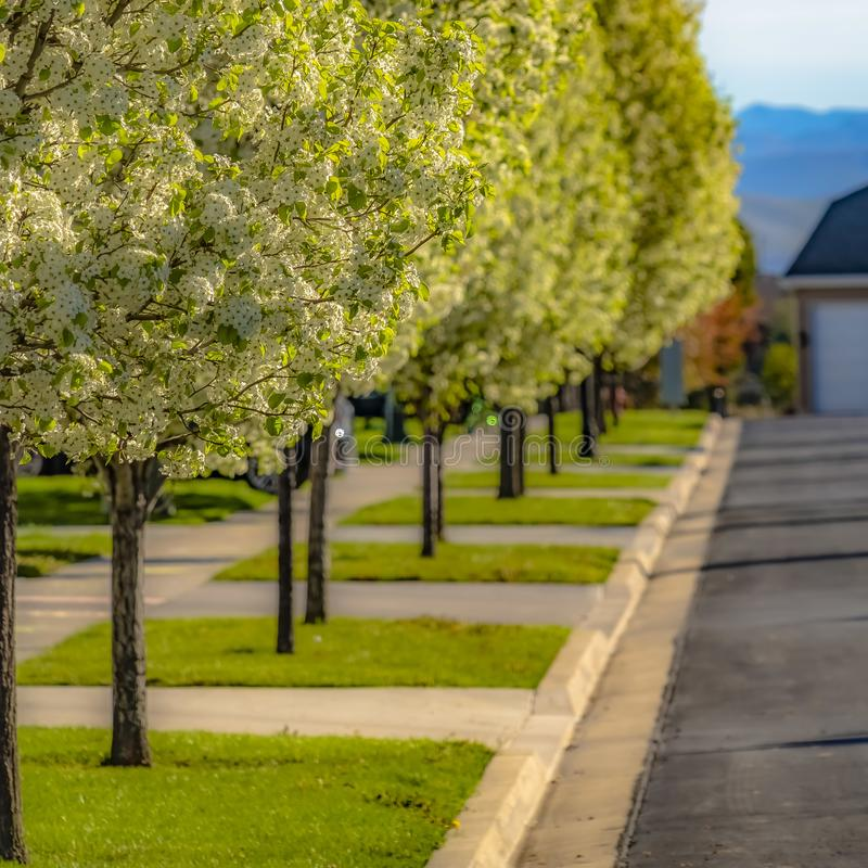 Frame Frame Square Row of luxuriant trees on the landscaped sidewalk of a road on a sunny day royalty free stock photography
