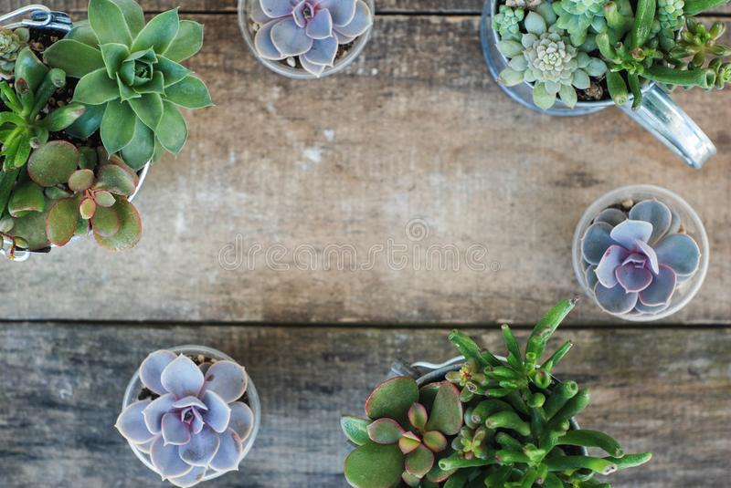 Frame from variety of Succulent Flowers in Pot Plants in Garden. rustic wooden board. Copy space. royalty free stock image