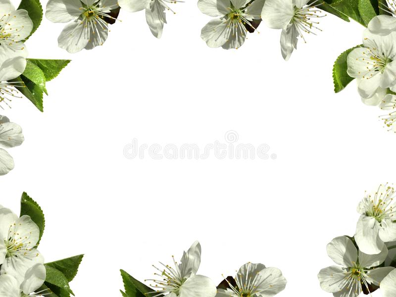 Frame with white flowers. PNG. Frame with white flowers of apple trees on a transparent background. additional file png stock images