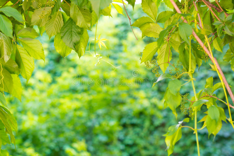 Download Frame Of Wild Grapes Stock Photo - Image: 31761150