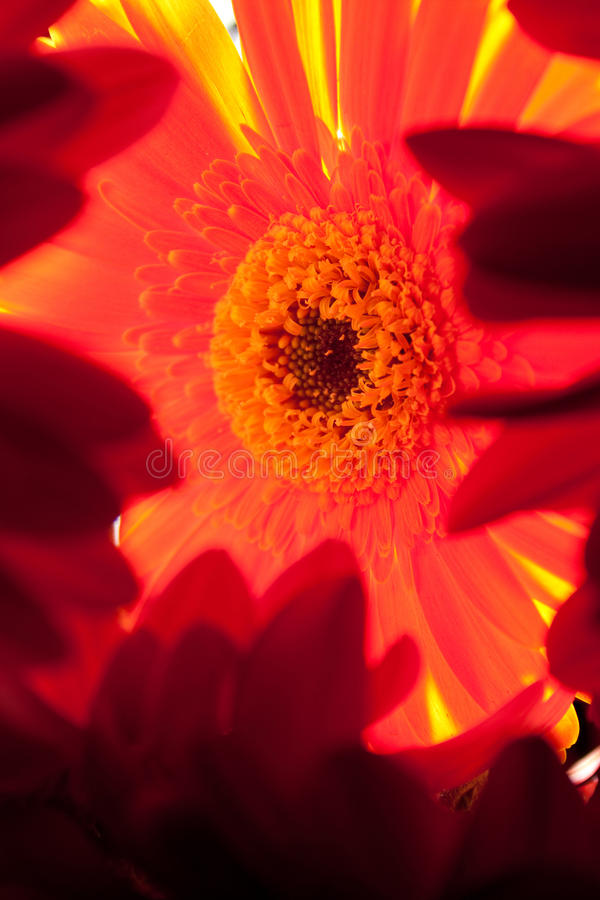 Download Framed daisy stock photo. Image of behind, petals, translucent - 11545174