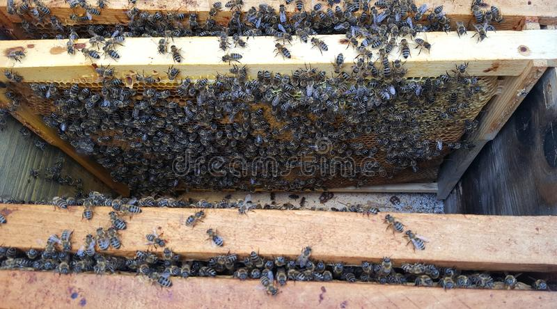 Frames with bee. Honeycombs inside royalty free stock images