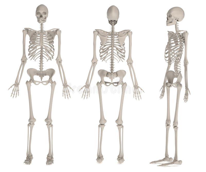 Framför av det kvinnliga skelettet vektor illustrationer