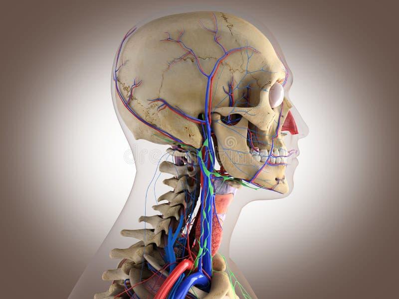 Människaanatomi - strukturera av den head hjärnan, synar etc. stock illustrationer