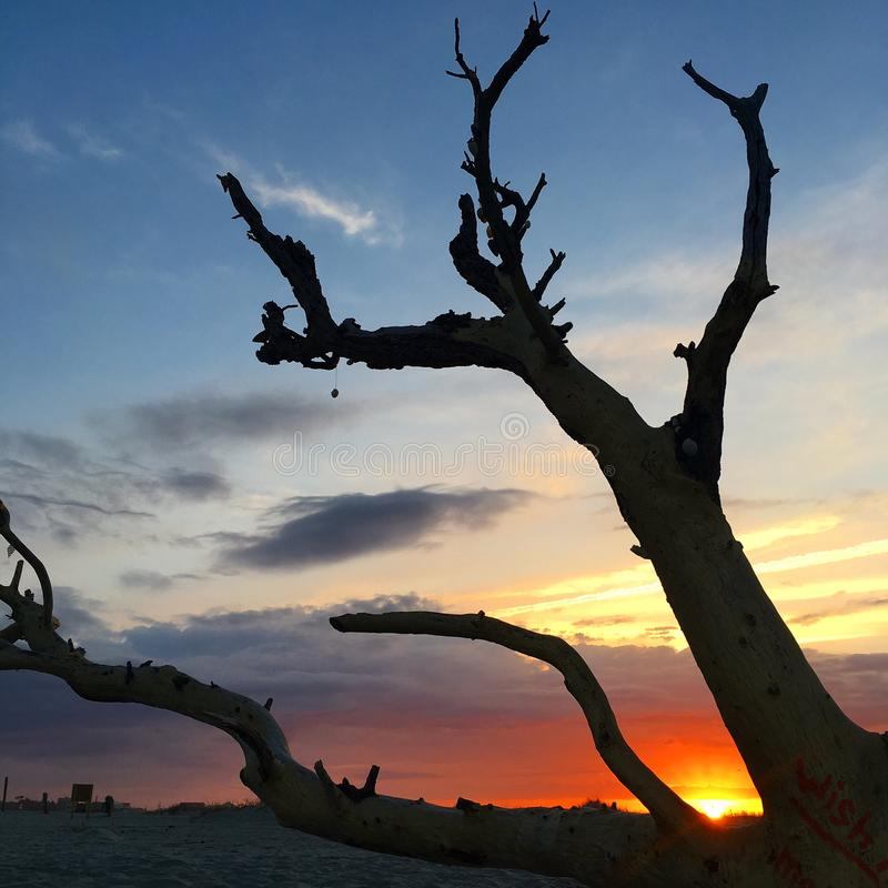 Framing a sunrise. The sun rises between the branches of a fallen tree along Folly Beach near Charleston South Carolina royalty free stock photos