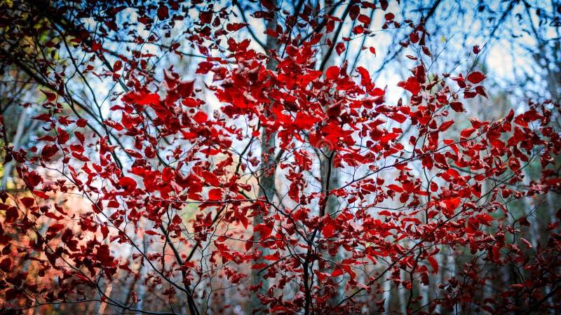 Frammenti rossi di autunno fotografie stock