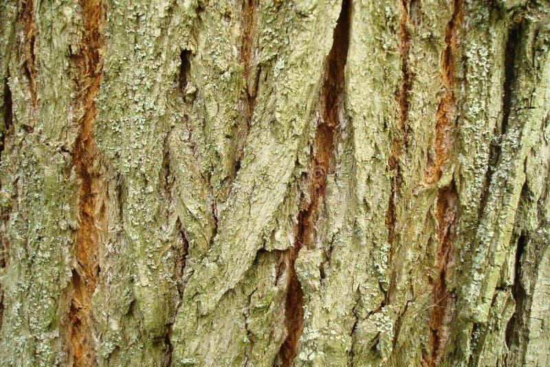 Frammento della corteccia di albero fotografia stock
