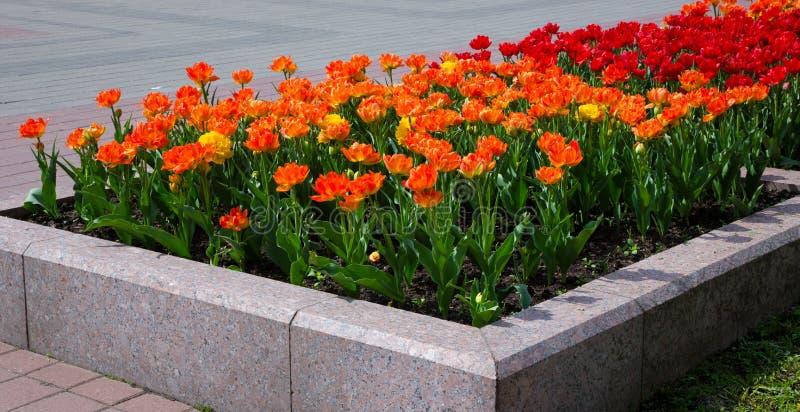 Frammento di un letto di fiore con i tulipani fotografie stock libere da diritti