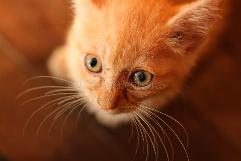 Framsida av den stygga orange kattungen royaltyfria foton