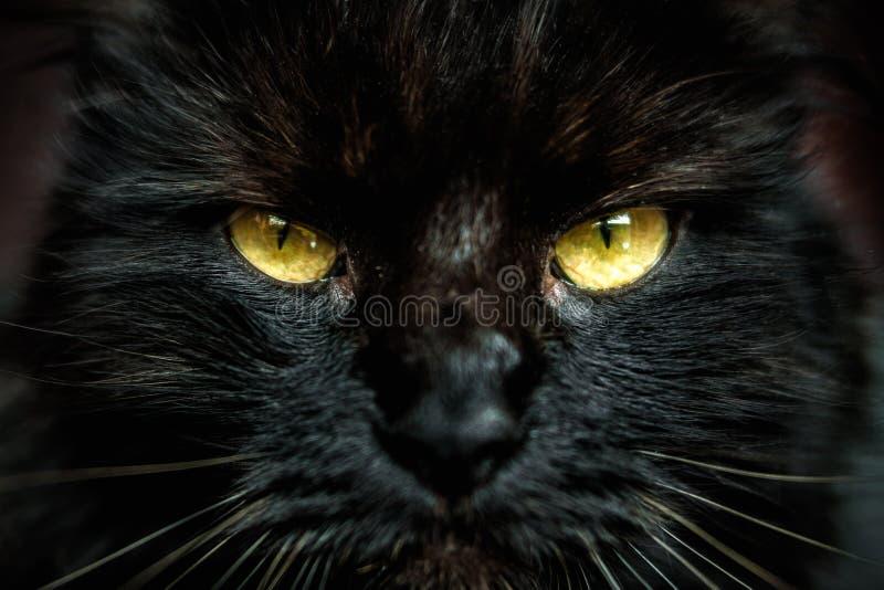 Framsida av den svarta katten med gula ögon arkivbilder