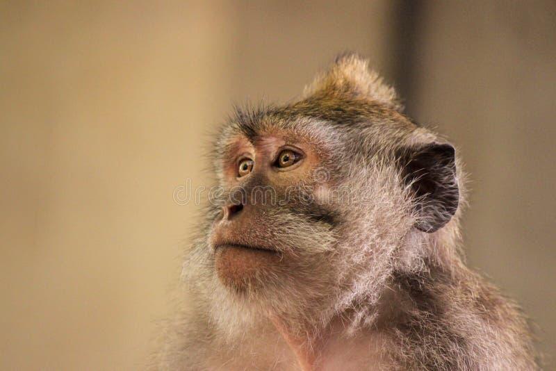 Framsida av en Balinese lång-tailed macaqueapa royaltyfri bild