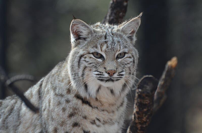 Framsida av en lodjurBobcat royaltyfri fotografi