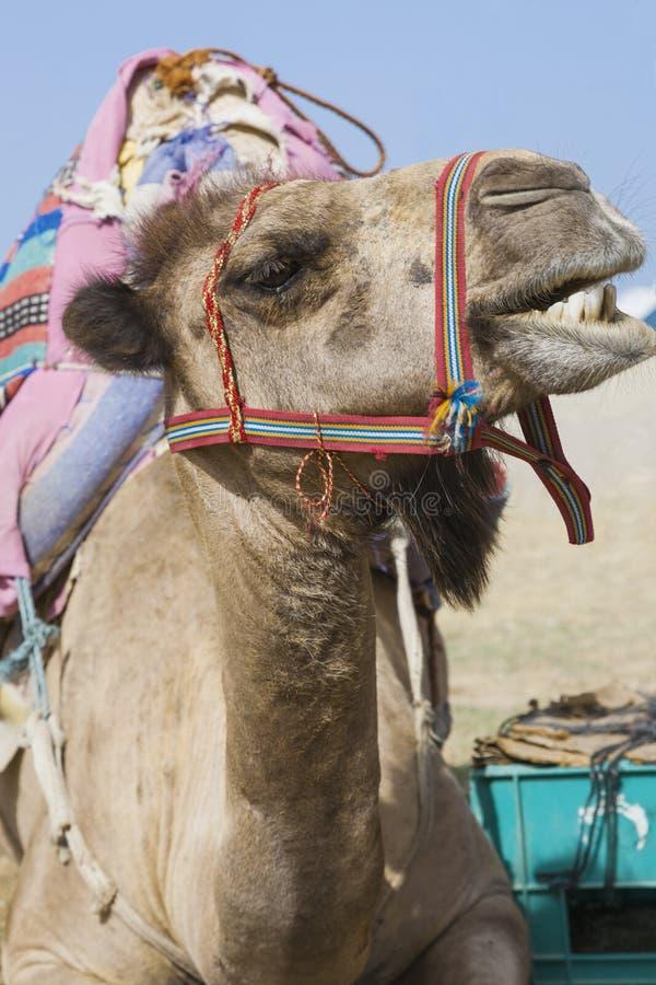 Framsida av en snacksalig kamel arkivbild
