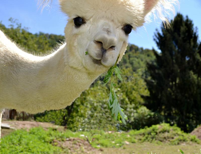 Framsida av en vit alpaca som håller ögonen på in i kameran royaltyfri bild