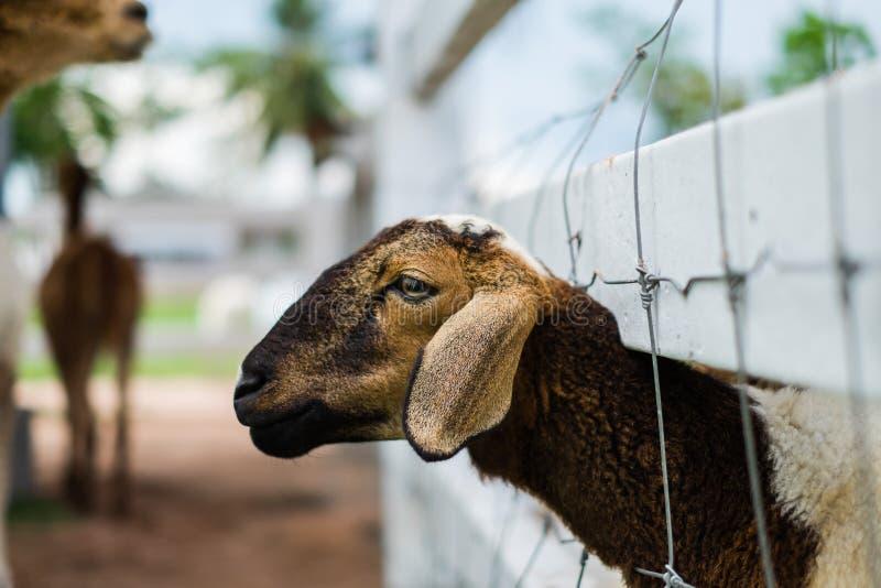 Framsida av ett får i en bur royaltyfria bilder