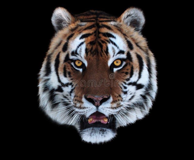 Framsida för tiger` s med den öppnade munnen som isoleras på svart royaltyfri bild