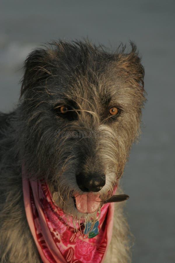 framsidairländarewolfhound arkivbilder