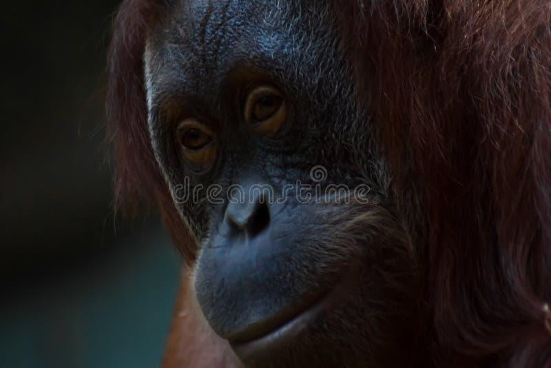 Framsidan av den flegmatiska phlegmaten för orangutangorangutangnärbild arkivfoton