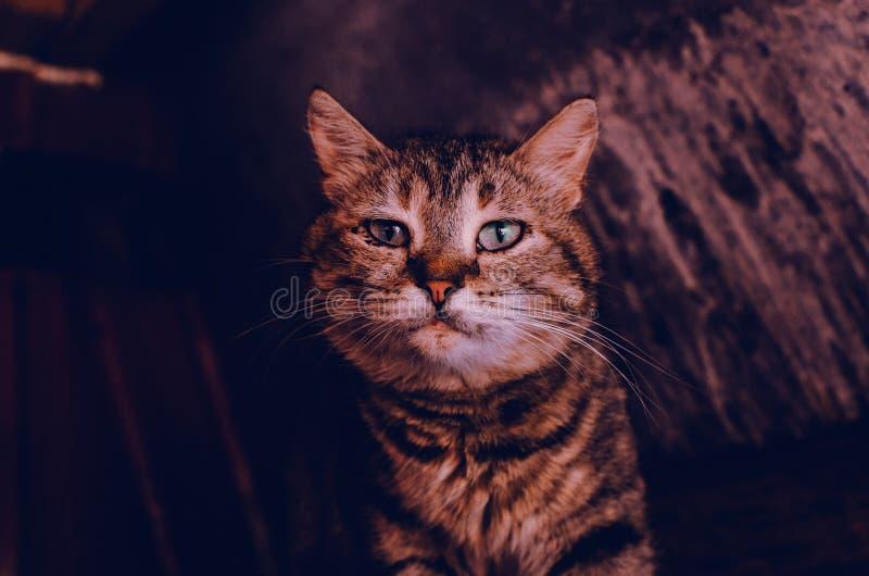 Framsidan av en brun katt royaltyfri bild