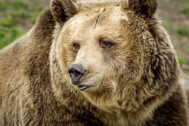 Framsidan av en grisslybjörn royaltyfria foton