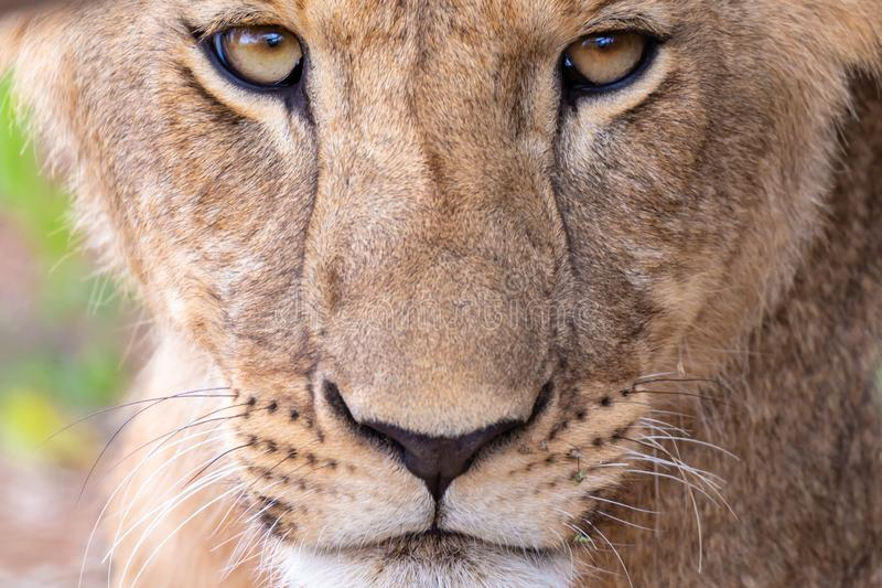 Framsidan av en lejoninna i närbild royaltyfri foto