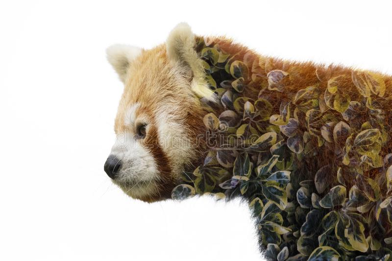 Framsidaslut för röd panda upp med blured grön bakgrund arkivbild