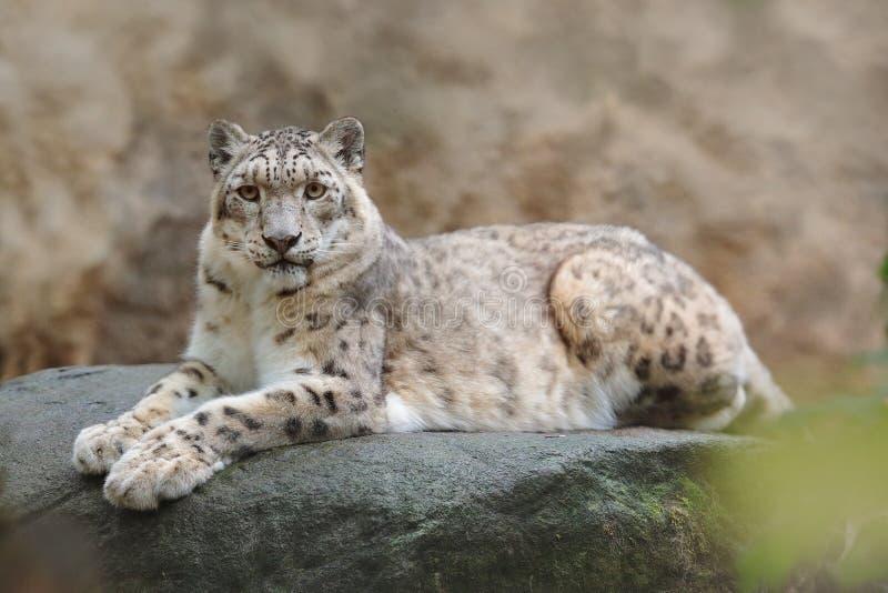 Framsidaståenden av snöleoparden med klart vaggar bakgrund, den Hemis nationalparken, Kashmir, Indien Djurlivplats från Asien Det royaltyfri foto