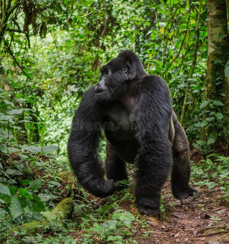 Framträdande manlig berggorilla i rainforesten Uganda Bwindi ogenomträngliga Forest National Park arkivfoton