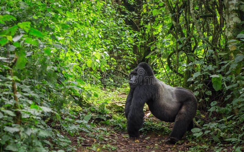 Framträdande manlig berggorilla i rainforesten Uganda Bwindi ogenomträngliga Forest National Park arkivfoto