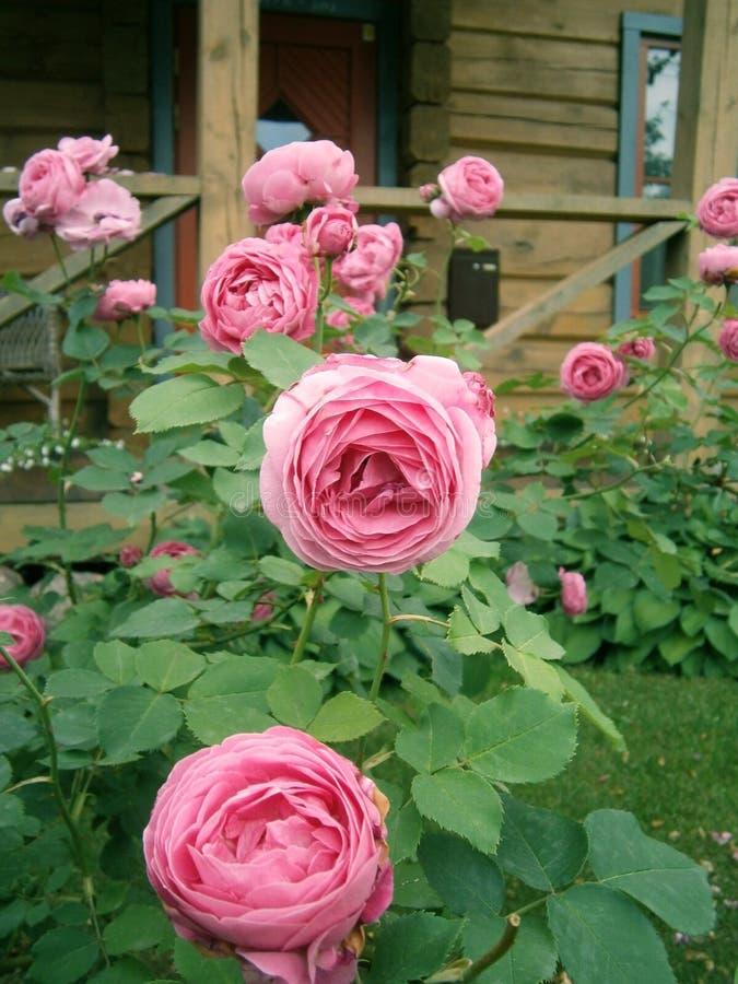 Français Rose près de la maison photos stock