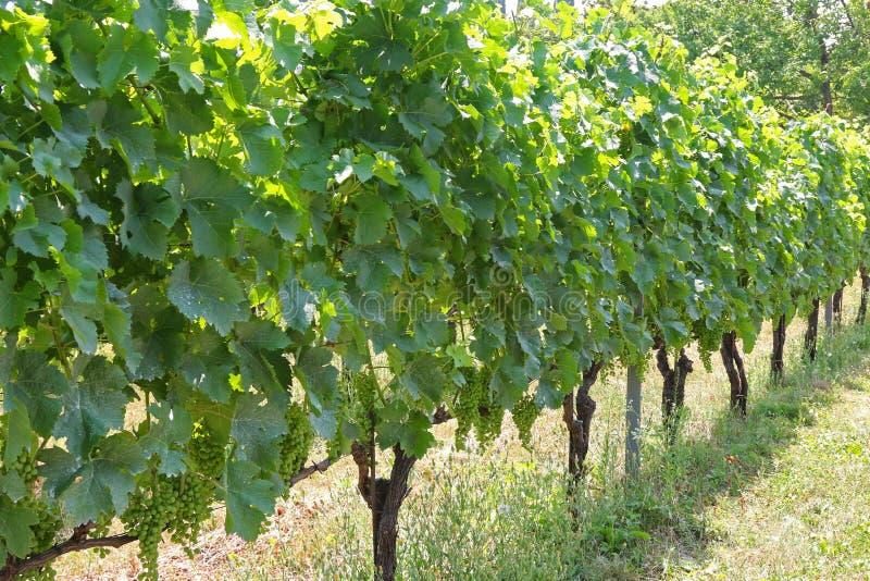 Franc bleu (Blaufraenkisch) développé à un vignoble dans le Burgenland, Autriche photo stock