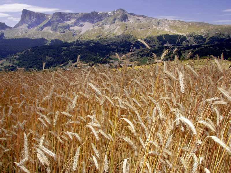 Download France Cornfield Devoluy Region Haute Alpes French Alps Stock Photo - Image: 1263512