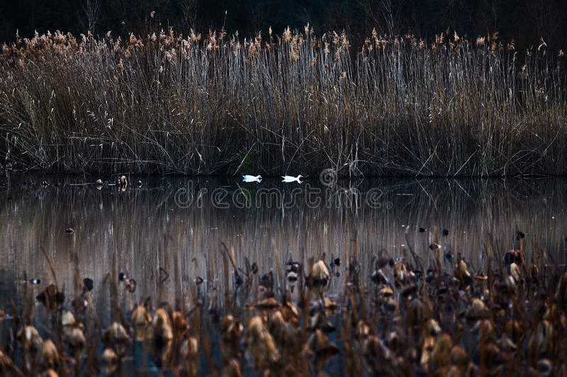 France, Mougin, provence, Duck swimming in a pond at sunset, among dried reeds and lotuses, a reflection of the sunset sky, reeds. Dry grass stock photography