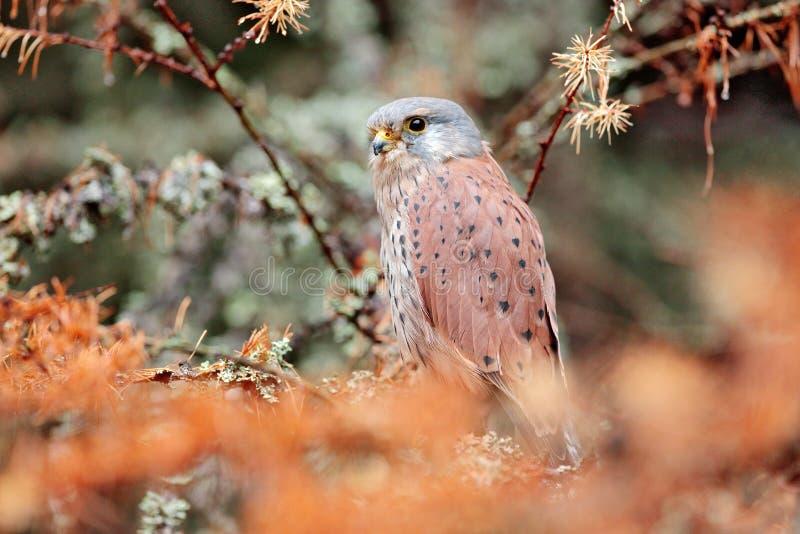 Francelho comum, tinnunculus de Falco, pássaro de rapina pequeno que senta-se na floresta alaranjada do outono, Alemanha Árvore d fotografia de stock royalty free