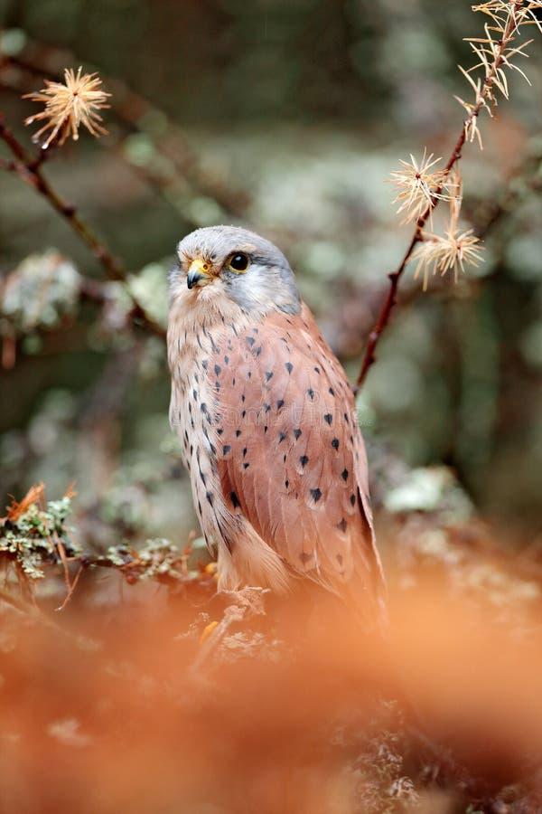 Francelho comum, tinnunculus de Falco, pássaro de rapina pequeno que senta-se na floresta alaranjada do outono, Alemanha Árvore d imagens de stock royalty free