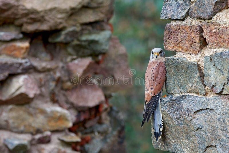 Francelho comum, tinnunculus de Falco, pássaro de rapina pequeno que senta-se na floresta alaranjada do outono, Alemanha Árvore d fotos de stock royalty free