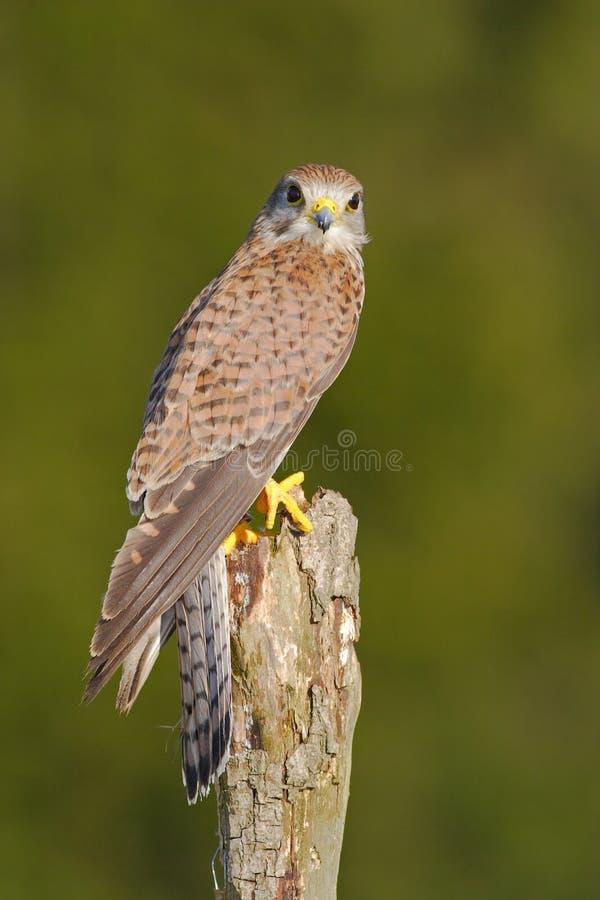 Francelho comum, tinnunculus de Falco, pássaros de rapina pequenos que sentam-se no tronco de árvore, Eslováquia Dia de verão com fotografia de stock