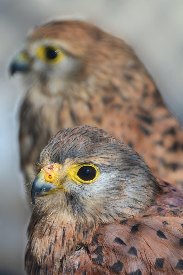 Francelho ou tinnunculus comum de Falco imagem de stock royalty free
