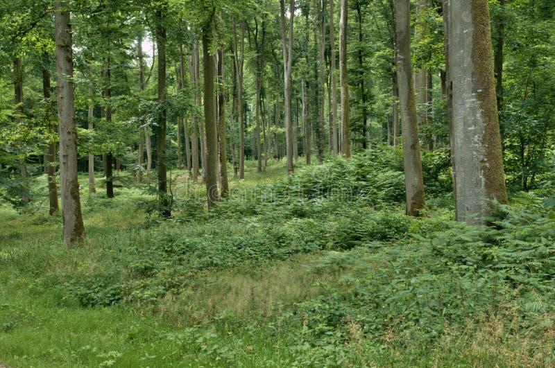 Frances, forêt de La Foret de Lyon, dans Normandie photos libres de droits