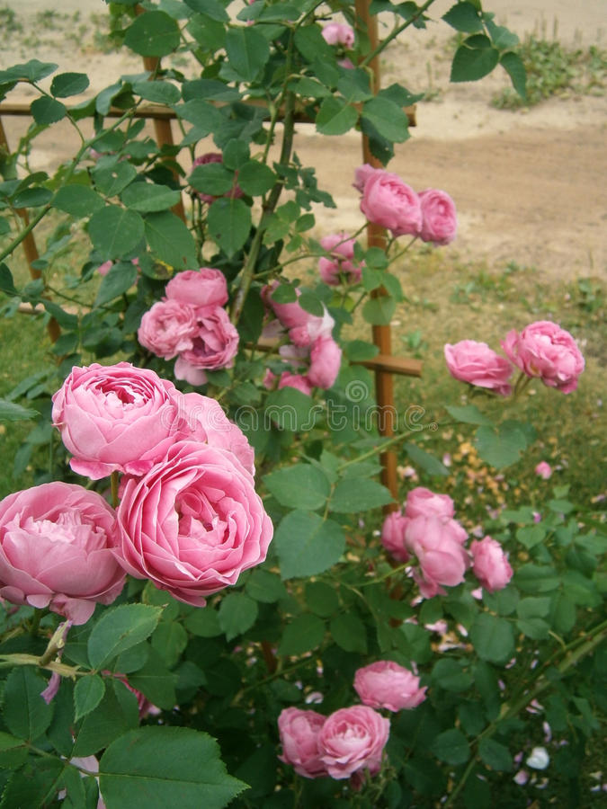 Francese anziano Rose Louise Odier fotografia stock