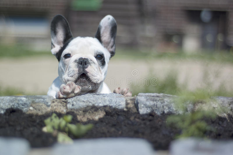 Franchbuldog royalty-vrije stock fotografie