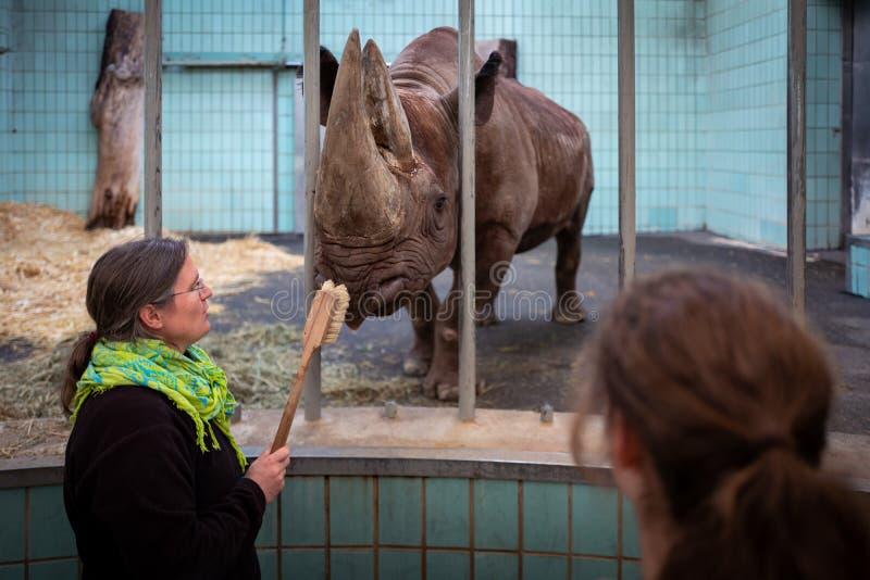 Francoforte, Germania - 14 febbraio 2019: Il personale dello zoo di Francoforte pulisce il rinoceronte fotografie stock